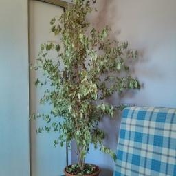 Fig Tree (2007–2015)